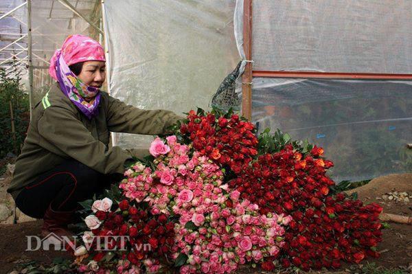 Hoa trong vườn của bà Bốn luôn tươi đẹp, đậm màu nhờ chăm sóc tỉ mỉ và đầy đủ dinh dưỡng. Ảnh: Văn Long.