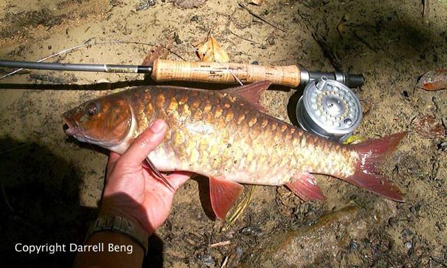 Cá Empurau là loài cá bản địa ở Sarawak, Malaysia. Ngoài ra, nó còn có thể được tìm thấy ở thượng nguồn của các con sông chính như Rajang, Baram, Limbang và Batang Ai.