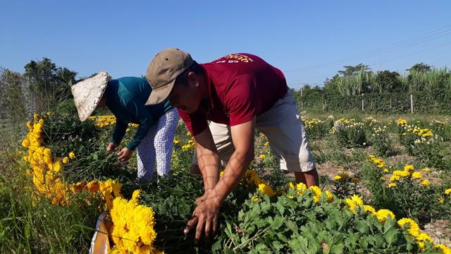 Nông dân chuẩn bị hoa giao cho thương lái