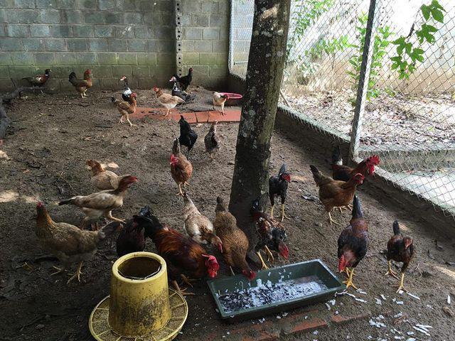 Vợ chồng Hồng Đăng còn tận dụng không gian rộng để nuôi gà.