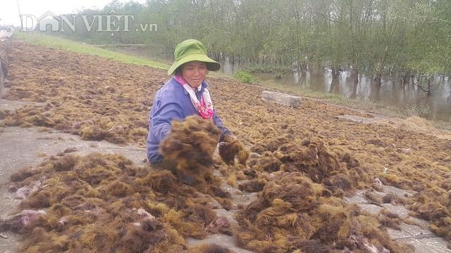 Ước tính mỗi năm 3 xã bãi ngang của huyện Kim Sơn thu khoảng 2.000-3.000 tấn rau câu.