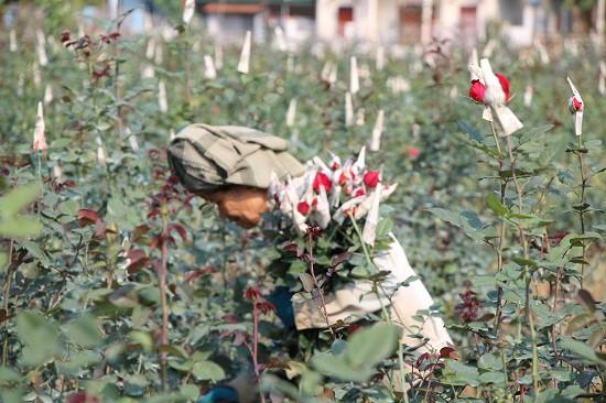 Nhờ được chăm sóc đúng kỹ thuật nên vườn hoa của chị Xuyến phát triển rất tốt, bông hoa đẹp.