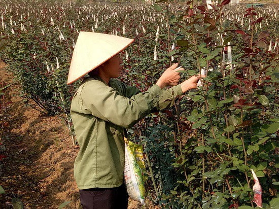 Khu trồng hoa của chị Lã Thị Xuyến rộng 9.000m2
