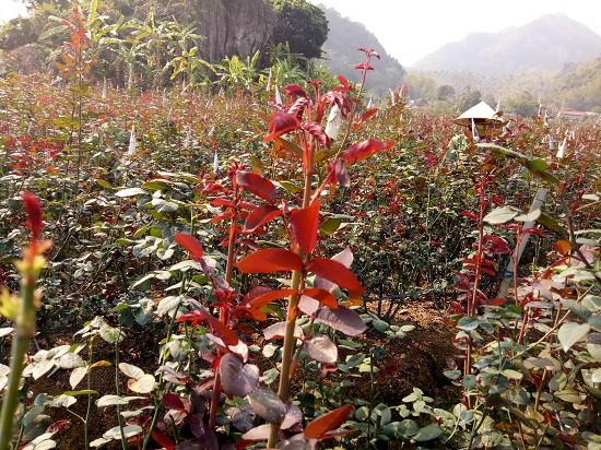 Vườn hoa của chị Xuyến được thiết kế rất bài bản, gọn gàng, hàng lối thẳng tắp đâu ra đấy, dạo bước trong vườn hoa mà có cảm giác như mình đang du ngoạn trong công viên.