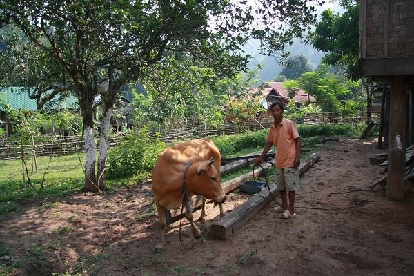 Người A rem còn biết nuôi bò, tránh phá rừng.