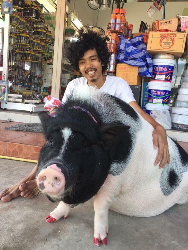 Anh chàng mua lợn cảnh mini về nuôi và cái kết là có hẳn chú lợn 1 tạ.
