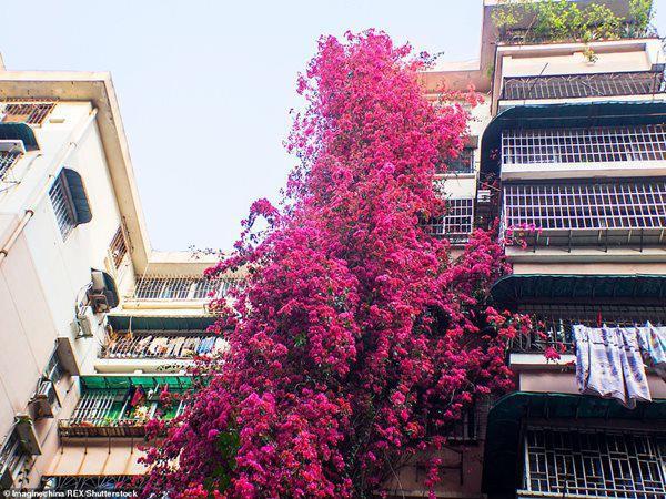 Cây hoa 26 năm trước nay đã tạo thành thác hoa.