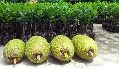 Mít Thái loại 1 quả to tròn đều và có trọng lượng trên 9 kg.