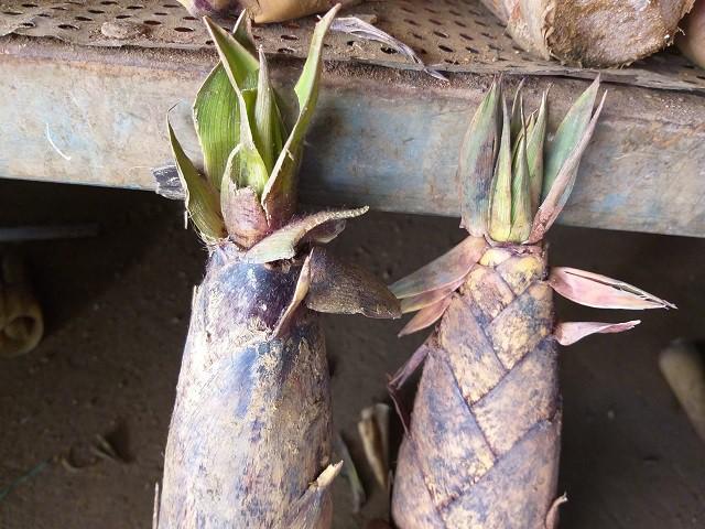 Măng ngọt (bên trái) và măng đắng (bên phải) có hình dáng lá khác nhau, có thể phân biệt bằng mắt thường.