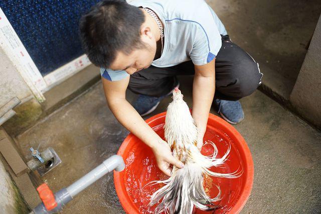 Gà Tân Châu thích ứng tốt, dễ chăm sóc