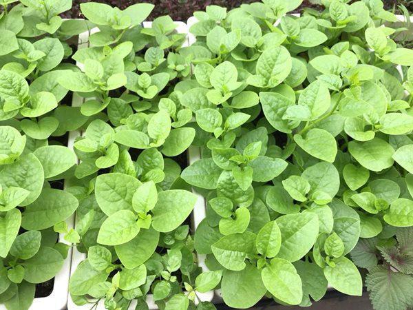 Chỉ cần đất tốt và tưới thường xuyên, rau mồng tơi có thể xanh non mơn mởn.
