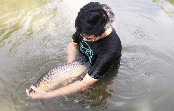 Chú cá kim long đang được nuôi tại một trang trại ở xã Sông Trầu (huyện Trảng Bom).