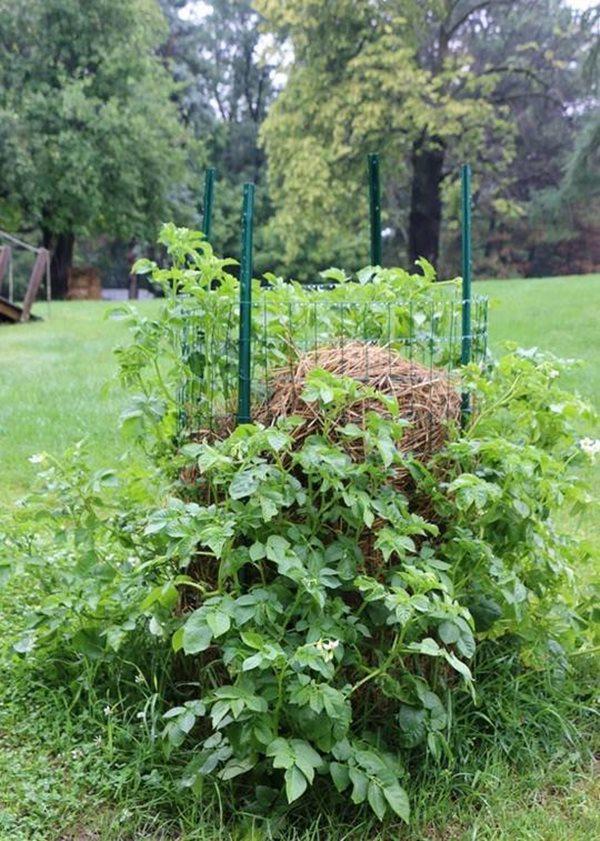Sau 34 ngày, nhờ tưới cây đều đặn và hấp thu dinh dưỡng từ phân ủ và rơm ủ trong khu trồng cây, những chồi cây khoai tây đã lên xanh mơn mởn.