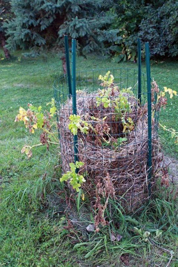 Những thân cây úa tàn dần báo hiệu đến thời gian thu hoạch