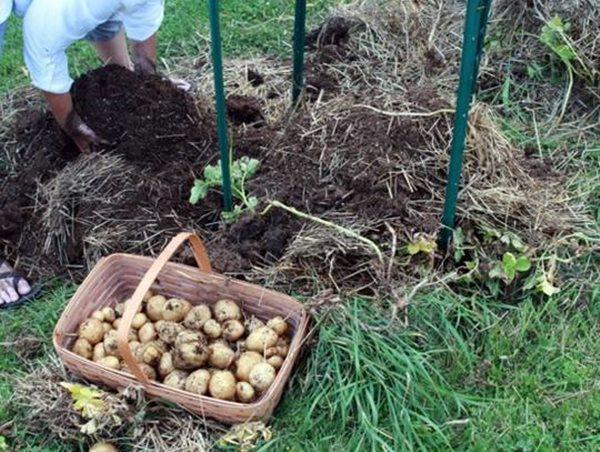 Laurie và chồng bắt đầu vào công cuộc thu hoạch và có được thành quả bội thu.