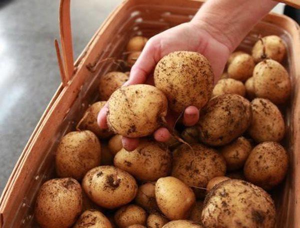 Có lẽ khi nhìn kết quả thu được chỉ từ 1kg khoai giống và gần 1m2 đất vườn từ những dụng cụ đơn giản thế này, ai ai cũng muốn lao vào làm vườn ngay lập tức!
