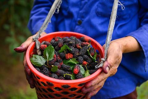 Những quả dâu tằm chín đỏ căng mọng được người chủ vườn cẩn thận nâng niu khi hái, không bị dập nát.