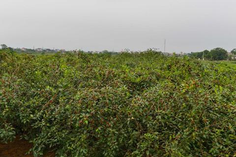 Vườn dâu nằm cạnh sông Đáy, nơi có lượng phù sa giàu dinh dưỡng. Cây phát triển khỏe và ít sâu bệnh. Năm nay sản lượng được nhiều gần gấp đôi năm ngoái và có công ty về tận nơi thu mua nên bà con phấn khởi lắm, chị Lan chia sẻ.