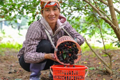 Dịp này dâu chín rộ nhiều chủ vườn phải thuê thêm nhân công để thu hoạch cho kịp tiến độ.