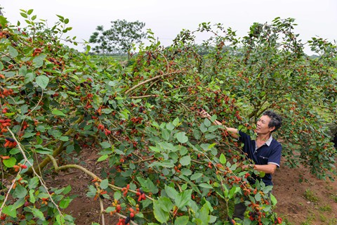 Vườn nhà ông Nguyễn Trọng Tuấn từng trồng trên 200 gốc nhưng nay cũng chỉ còn 30 gốc vì nhãn trồng cũng đã lớn lên dâu phải nhường đất. Ông Tuấn cho biết: Trồng dâu không tốn công chăm sóc, phân thuốc cũng không cần nhiều. Năm sau tôi tính thuê đất để tiếp tục trồng thêm.