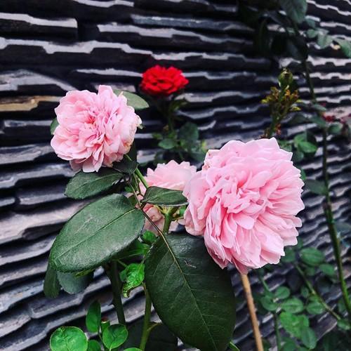 Hoa hồng là loài hoa không thể thiếu trong vườn nhà