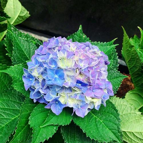 Cẩm tú cầu cũng là một trong những loài hoa Bảo Ngọc rất yêu thích.