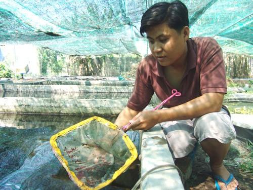 Anh Hoài Thanh đang kiểm tra đàn tép kiểng chuẩn bị xuất ra thị trường.  Ảnh: T.Đ