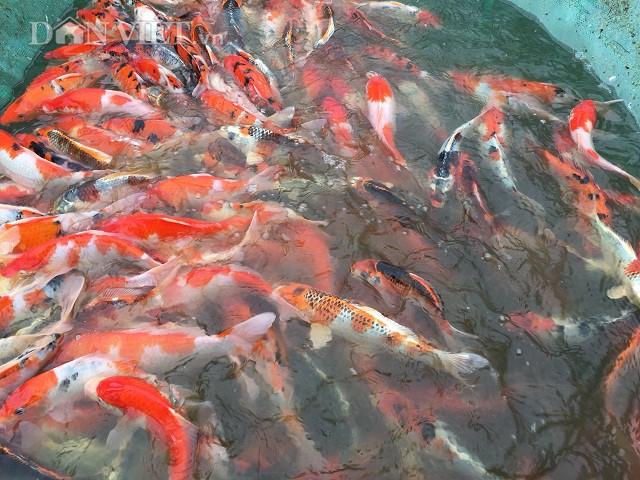 Nhờ nuôi cá Koi mà mỗi năm anh Lực bỏ túi khoảng 500 triệu đồng.