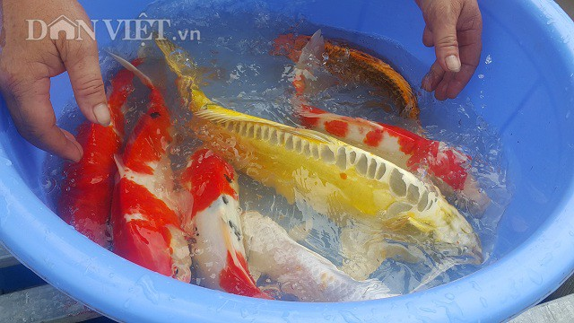 Cá Koi có thể sống tới cả trăm năm tuổi, bình thường nuôi trong hồ nhân tạo nó cũng thể sống tới 25 - 35 năm, trọng lượng của cá Koi có thể lên tới hàng chục kg mỗi con.