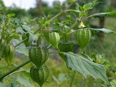 Trong dân gian, lá tầm bóp có thể dùng nấu canh ăn trị mất ngủ trong khi quả của cây tầm bóp chỉ là một loại quả dại không được chú ý nhiều.