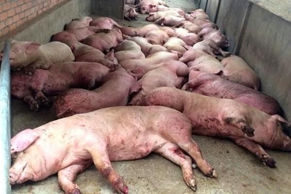 Dịch tả lợn châu Phi được đánh giá là gây thiệt hại nhiều mặt, đe dọa cả một ngành hàng lớn
