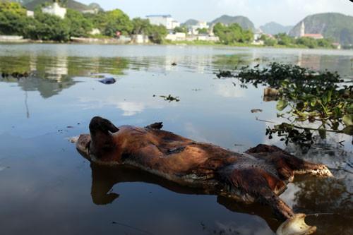 Xác lợn chết trên sông Đáy đoạn giáp ranh giữa xã Hương Sơn (Mỹ Đức, Hà Nội) và xã Tân Sơn (Kim Bảng, Hà Nam) chiều 15/5. Ảnh: Tất Định
