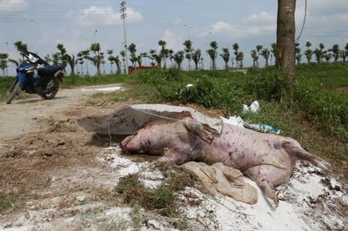 Lợn chết vứt ven trục đường phía nam Hà Nội, thuộc địa phận xã Mỹ Hưng (Thanh Oai) chiều 15/5. Ảnh: Tất Định