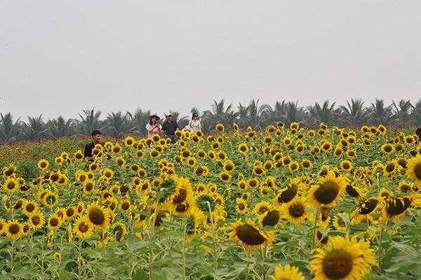 Đồi hoa hướng dương chỉ cách trung tâm Hà Nội 15 km.