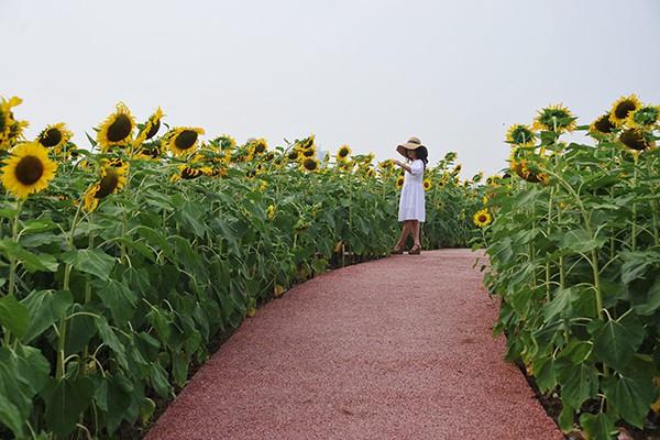 Lối đi giữa các vạt hoa khá rộng để du khách có thể thoải mái tham quan.
