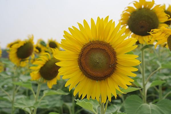 Những bông hoa có kích cỡ tới 20 - 25 cm.