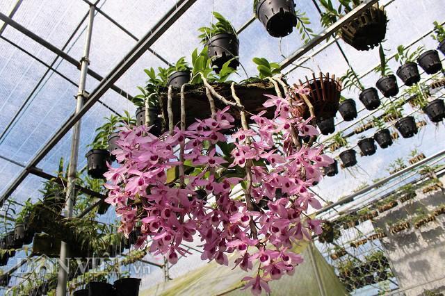 Ngoài trầm rồng đỏ, bên trong vườn của Nghi còn nhiều loại lan có giá trị khác.