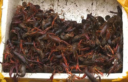 Tôm càng đỏ bị thu giữ ở Lào Cai. Ảnh: Trung Dũng.