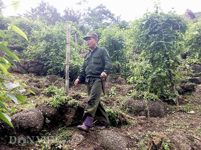 Nhờ mạnh dạn thử nghiệm giống cây lạ này mà khu đồi lổn nhổn đá của gia đình anh Tuấn đã cho thu bộn tiền thay vì trồng cây ngô lấy lệ