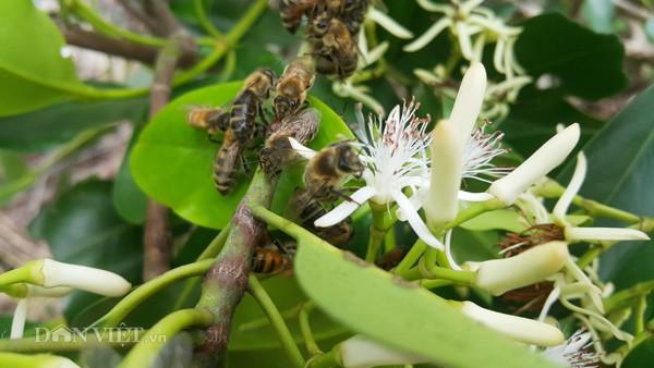 Hàng năm, cứ vào mùa hoa sú vẹt bung nở là những người nuôi ong ở khắp mọi nơi đưa những đàn ong của mình về đây để khai thác.