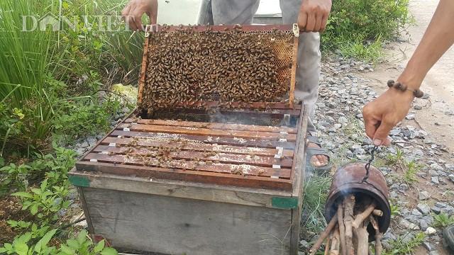 Sau khi hút mật từ hoa, ong sẽ nhả mật vào trong cầu rồi đắp kín miệng. Đợi khi cầu ong đầy ắp mật, thợ sẽ bỏ cầu vào thùng vắt mật.