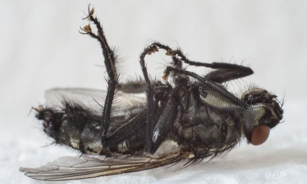 Thật kinh hoàng và khiếp đảm khi những con ruồi khổng lồ này có khắp ở mọi nơi - một người phụ nữ hoảng sợ thốt lên - Ảnh: Ian Staniforth/Alamy