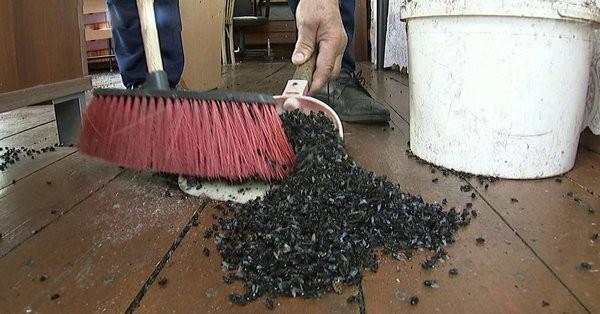 Hình ảnh hàng đống xác ruồi được thu dọn phát trên sóng truyền hình