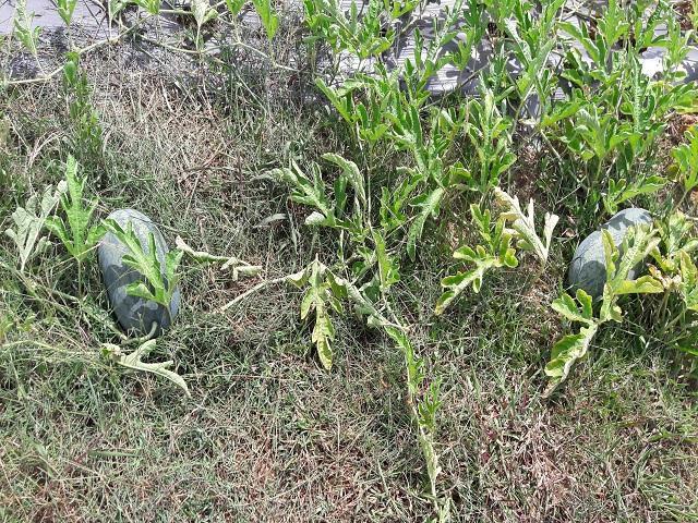 Dù được trồng trên đất đồi nhưng dưa hấu vẫn cho sản lượng khá. Mỗi dây dưa hấu chỉ để 1 quả nhưng đều là những quả to, dáng đẹp. Ảnh: N. Duyên.