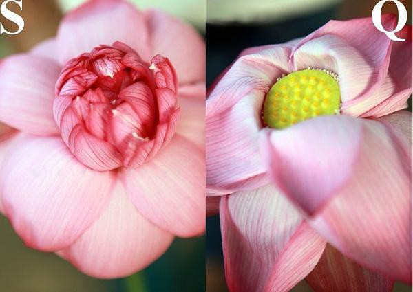 Bên trong bông hoa sen (trái) và bên trong hoa quỳ (phải).