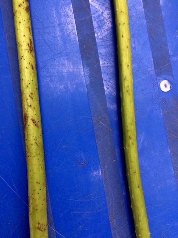 Thân hoa sen (phải) nhỏ, ít gai hơn hoa quỳ (trái).