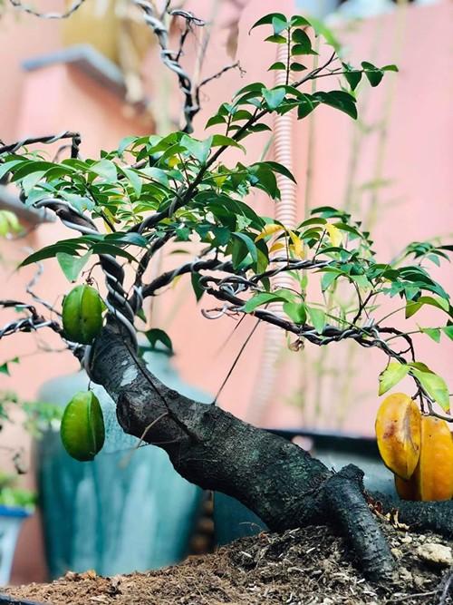 Cây khế cảnh của Thúy Nga cho trái chín mọng trong lúc chị đang đi lưu diễn. Chị cười đùa rằng: mình có số trồng mà không có số hưởng.