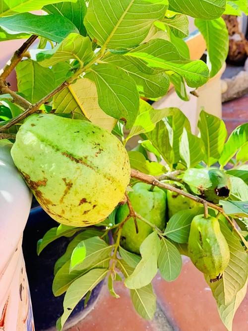 Thúy Nga tiết lộ bí quyết để mau được thu hoạch trái cây là mua cây đã có... trái nhỏ.