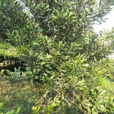 Với giá trị kinh tế cao, giá bán lên đến 80.000 đồng/kg quả tươi, cây mắc ca được kỳ vọng là cây giảm nghèo ở Lai Châu.