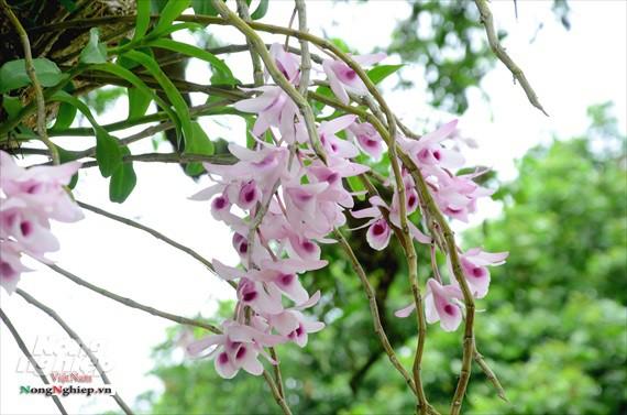 Lan Phi điệp ra hoa rất sai, bền cả tháng trời, hương thơm đậm đặc trưng.